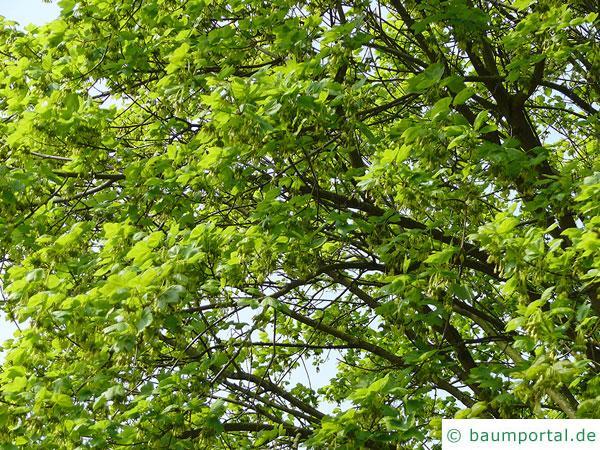 schneeballblättriger Ahorn (Acer opalus) Krone im Sommer