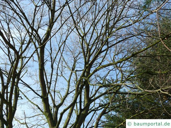 schneeballblättriger Ahorn (Acer opalus) Krone im Winter