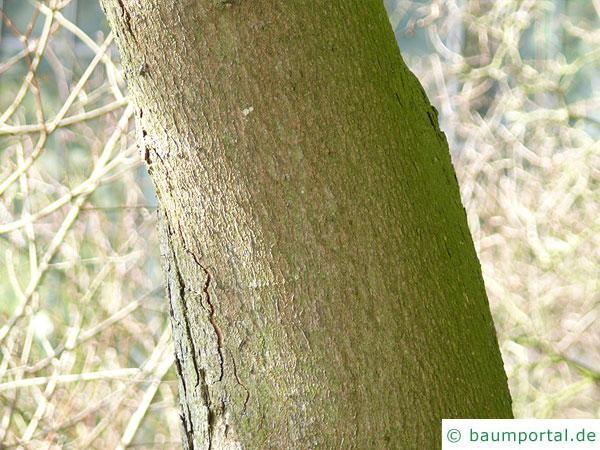 schneeballblättriger Ahorn (Acer opalus) Stamm / Rinde / Borke