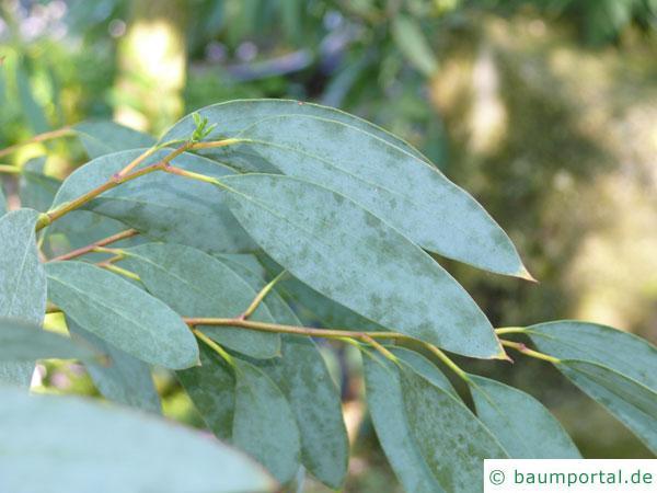 Schnee-Eukalyptus (Eucalyptus pauciflora subsp niphophila) Blätter
