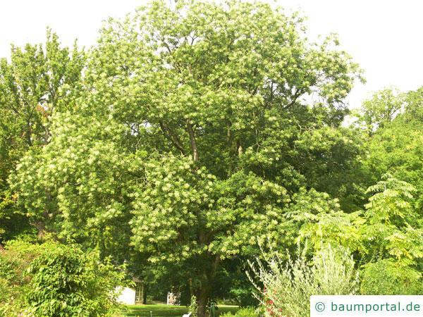 Schnurbaum (Styphnolobium japonicum) Baum