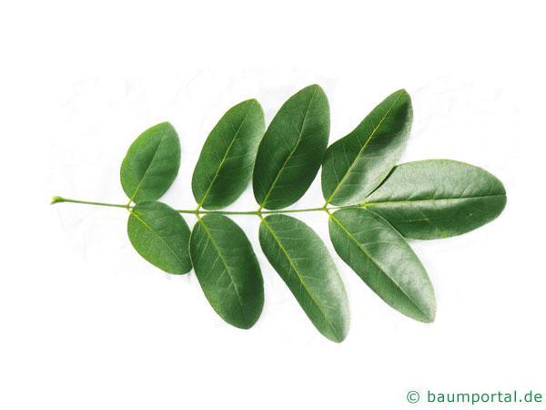 Schnurbaum (Styphnolobium japonicum) Blatt