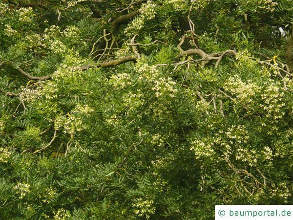 Schnurbaum (Styphnolobium japonicum) Blüten