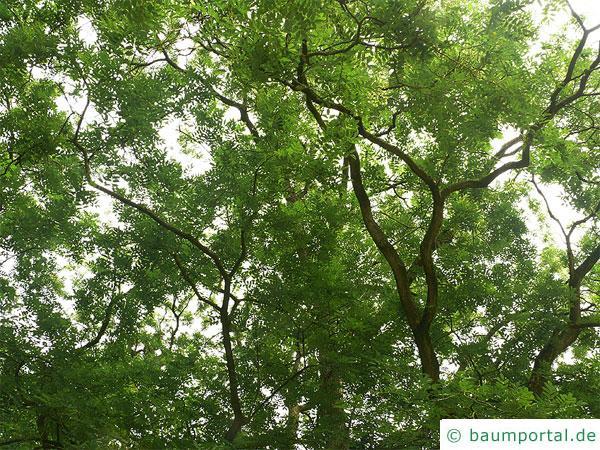 Schnurbaum (Styphnolobium japonicum) Krone