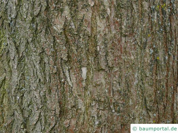 Schnurbaum (Styphnolobium japonicum) Stamm / Borke / Rinde