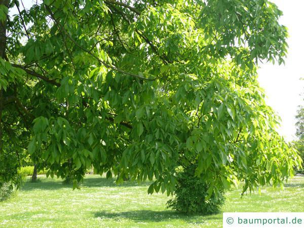 schuppenrinden Hickorynuss (Carya ovata) Ast mit Blätter