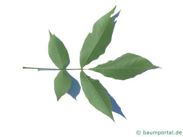 schuppenrinden Hickorynuss (Carya ovata) Blattunterseite