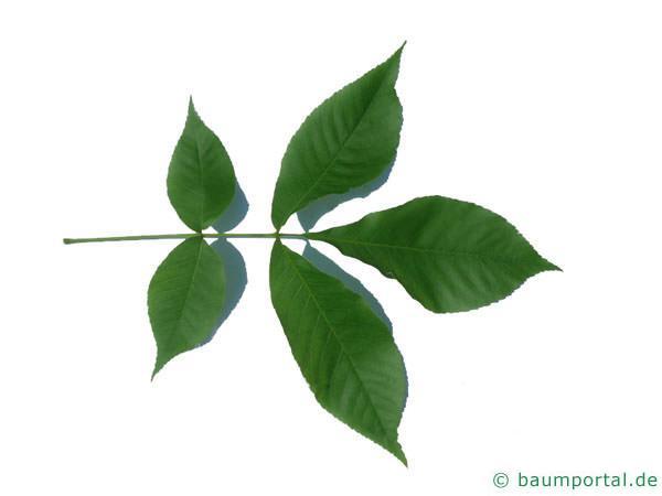 schuppenrinden Hickorynuss (Carya ovata) Blatt