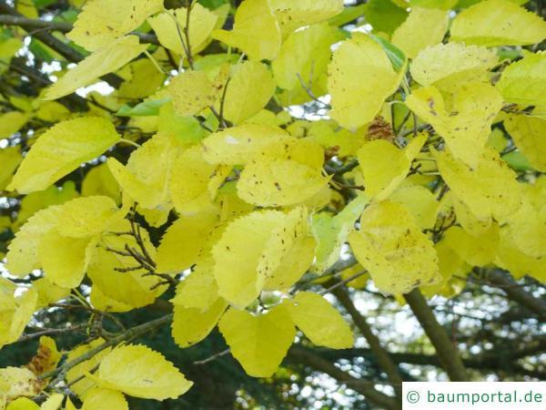 schwarze Maulbeere (Morus nigra) Blätter im Herbst