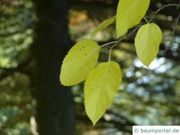 schwarze Maulbeere (Morus nigra) Blatt im Herbst