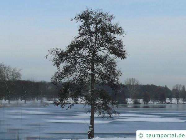 Schwarzerle (Alnus glutinosa) Baum im Winter