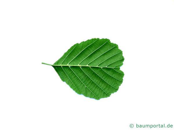 Schwarzerle (Alnus glutinosa) Blatt rückseite