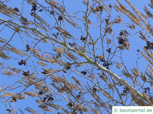 Schwarzerle (Alnus glutinosa) Blüte