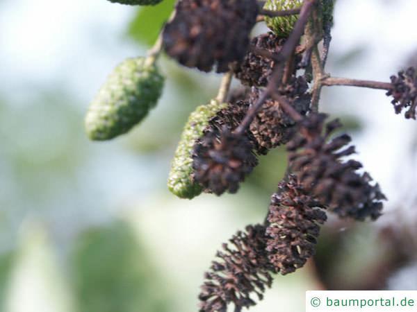 Schwarz-Erle (Alnus glutinosa) alte und junge Früchte (Zapfen)
