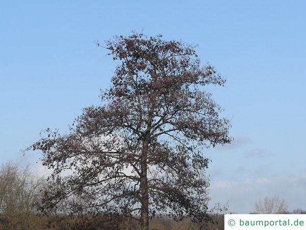 Schwarzerle (Alnus glutinosa) Krone im Winter
