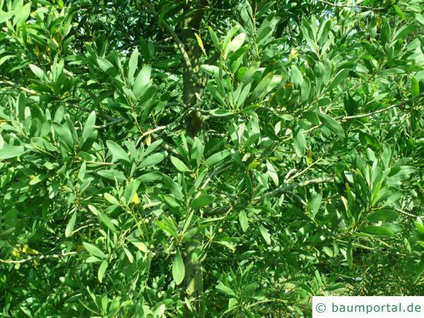 Schwarzholz-Akazie (Acacia melanoxylon) Blätter Krone
