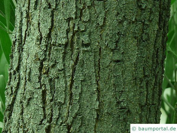 Schwarzholz-Akazie (Acacia melanoxylon) Stamm eines älteren Baumes