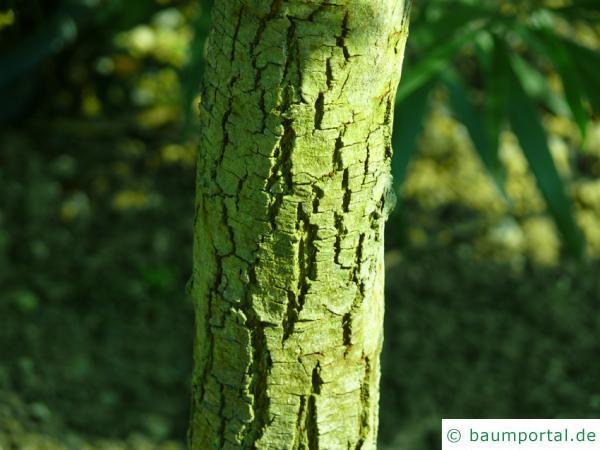 Schwarzholz-Akazie (Acacia melanoxylon) Stamm / Rinde / Borke