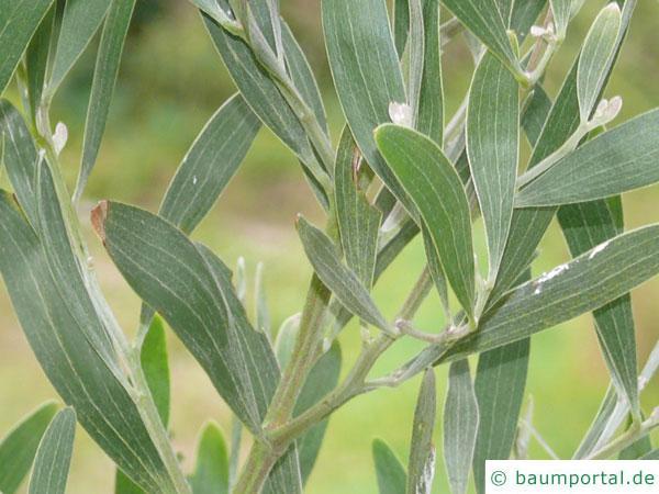 Schwarzholz-Akazie (Acacia melanoxylon) Zweige mit Blättern