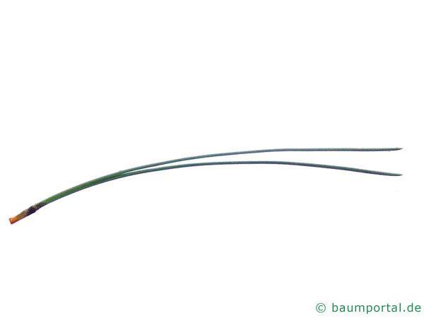 Schwarz-Kiefer (Pinus nigra) Nadeln