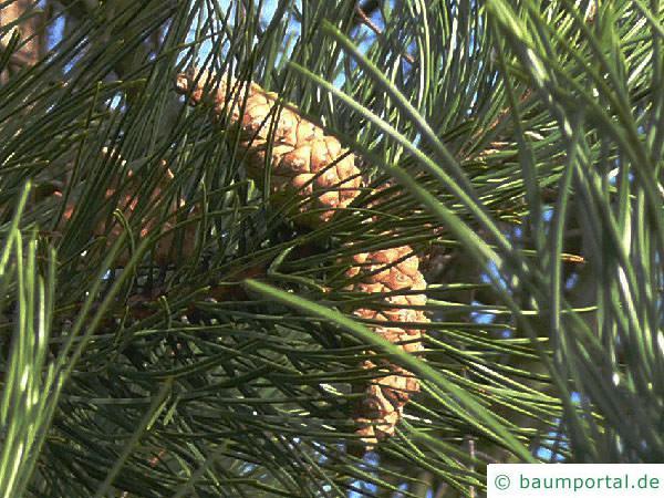 Schwarz-Kiefer (Pinus nigra) Zapfen