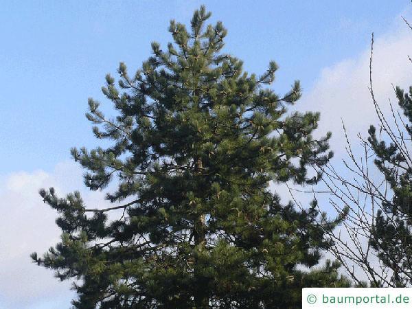 Schwarz-Kiefer (Pinus nigra) Baum