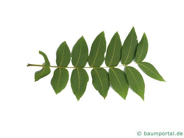 Schwarznuss (Juglans nigra) Blatt Unterseite