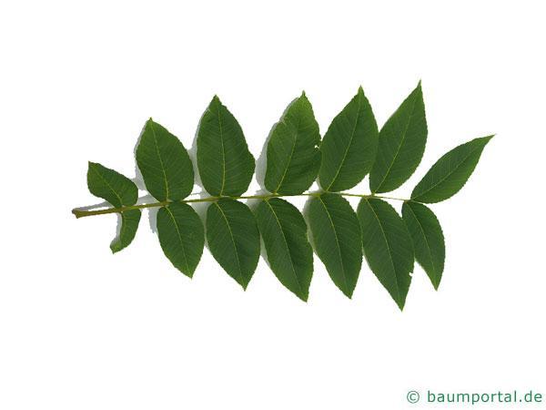 Schwarznuss (Juglans nigra) Blatt