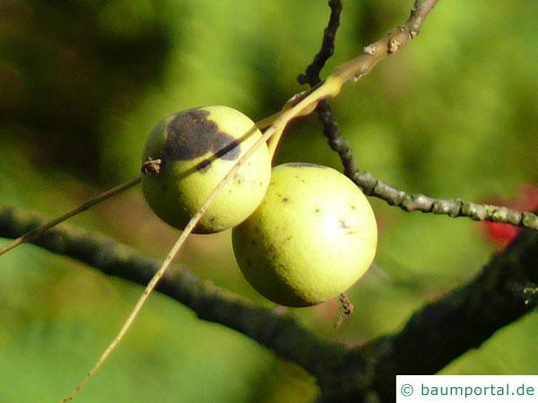 Schwarznuss (Juglans nigra) Früchte (Nüsse)