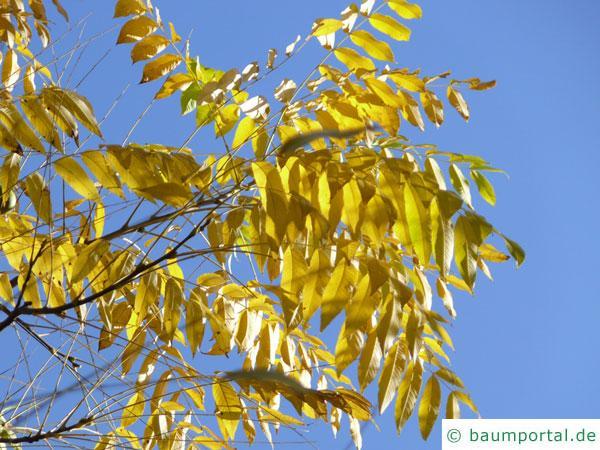 Schwarznuss (Juglans nigra) gelbe Blätter im Herbst