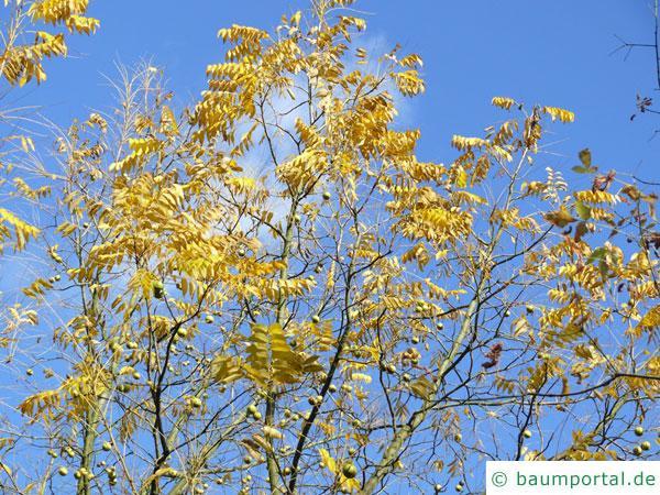 Schwarznuss (Juglans nigra) Baumkrone im Herbst