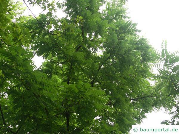 Schwarznuss (Juglans nigra) Baumkrone im Sommer