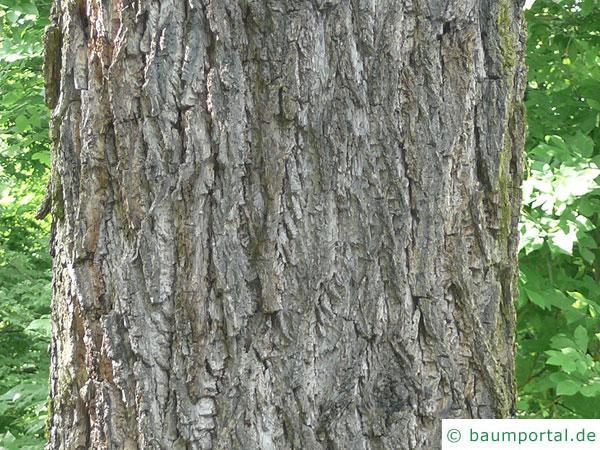 Schwarznuss (Juglans nigra) Stamm / Rinde / Borke