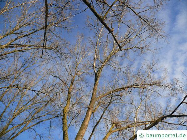 Schwarz-Pappel (Populus nigra) Krone im Winter