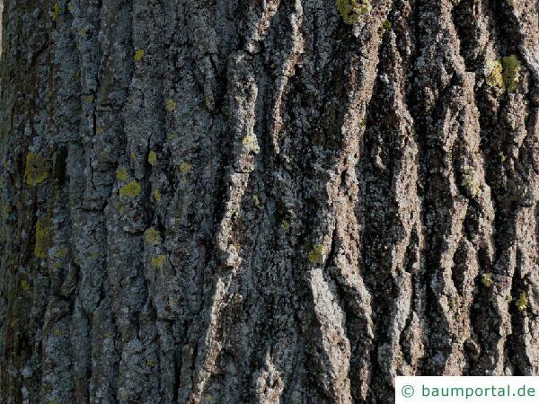 Schwarz-Pappel (Populus nigra) Stamm / Borke / Rinde