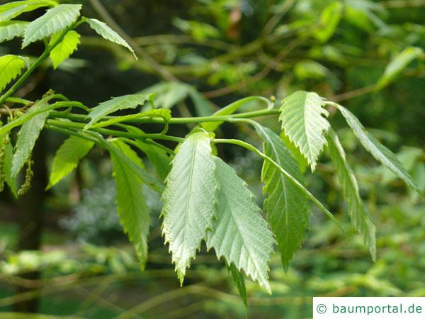 Seidenraupen Eiche (Quercus acutissima) Blätter
