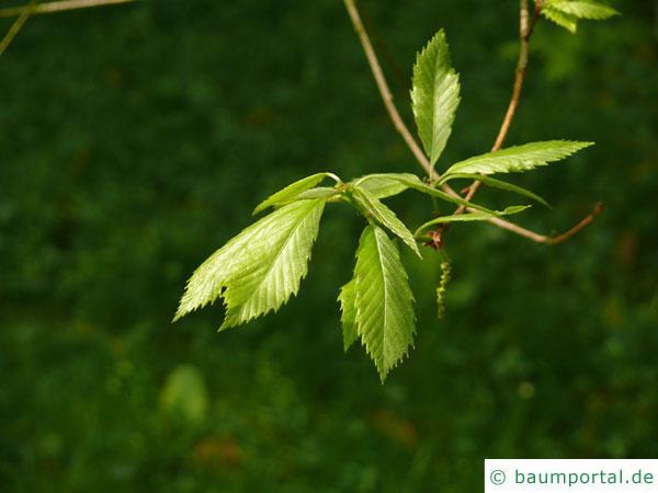 Seidenraupen Eiche (Quercus acutissima) Blätter an Zweigende