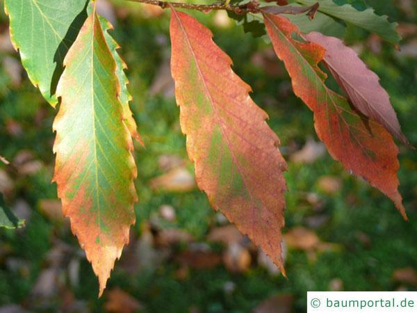 Seidenraupen Eiche (Quercus acutissima) Laub im Herbst