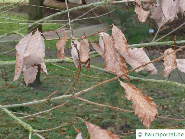 Seidenraupen Eiche (Quercus acutissima) Laub im Winter