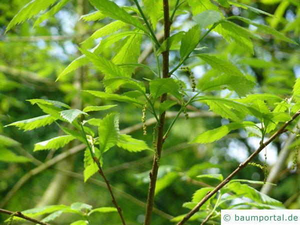 Seidenraupen Eiche (Quercus acutissima) Zweig