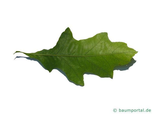 Shumards-Rot-Eiche (Quercus shumardii) Blatt Unterseite