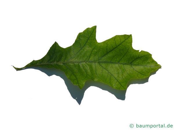Shumards-Rot-Eiche (Quercus shumardii) Blatt