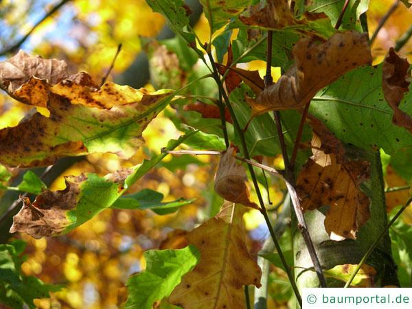 Shumards-Rot-Eiche (Quercus shumardii) im Herbst