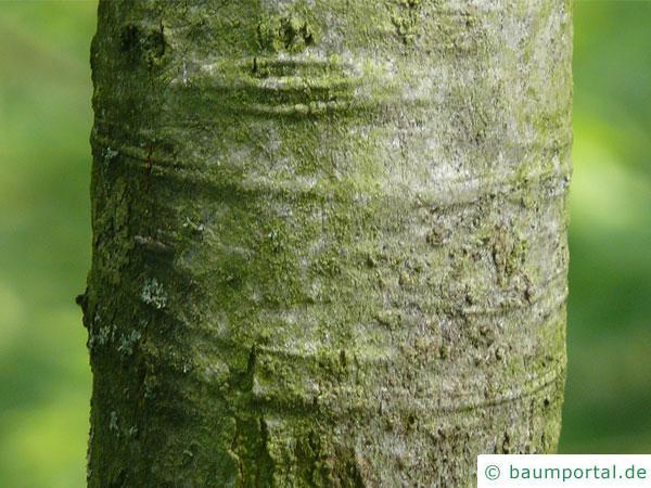 Shumards-Rot-Eiche (Quercus shumardii) Stamm / Rinde / Borke
