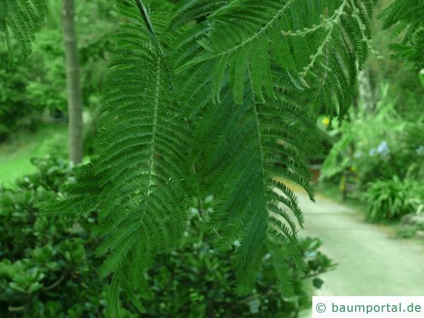 Silber-Akazie (Acacia dealbata) Blätter eines alten Baumes