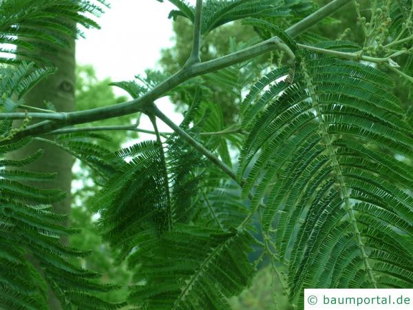 Silber-Akazie (Acacia dealbata) Zweig eines alten Baumes