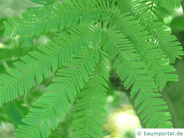 Silber-Akazie (Acacia dealbata) Blätter
