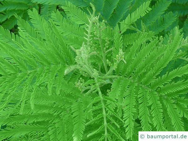 Silber-Akazie (Acacia dealbata) Blüte