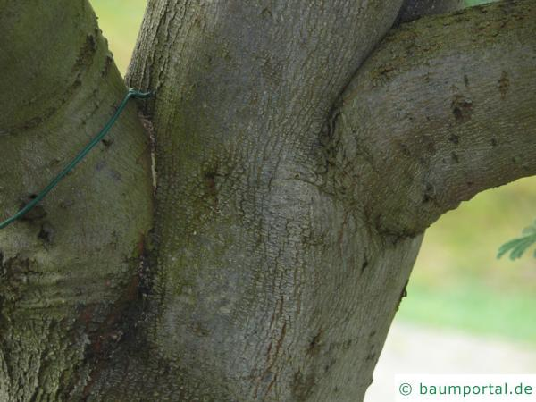 Silber-Akazie (Acacia dealbata) Stamm