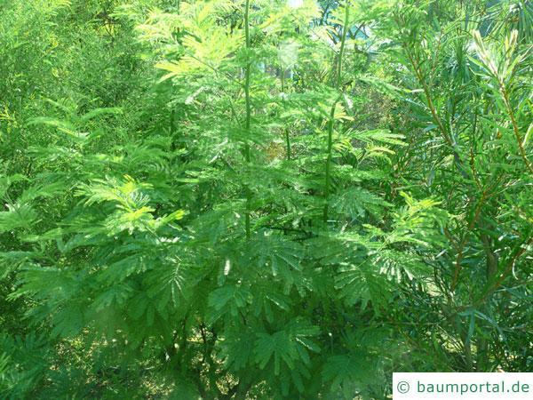 Silber-Akazie (Acacia dealbata) Baum